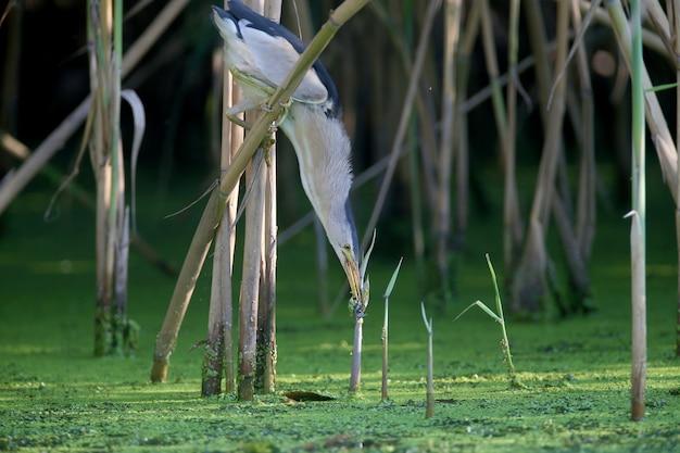 Ein erwachsenes männchen und eine junge zwergdommel werden in nahaufnahme fotografiert, während sie im teich frösche vorbereiten und jagen.