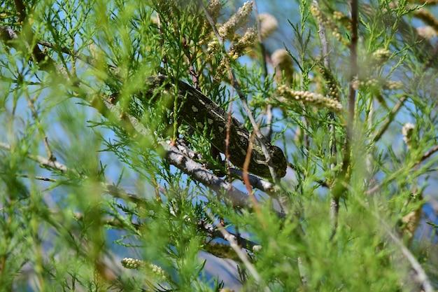 Ein erwachsenes mediterranes chamäleon, das zwischen afrikanischen tamariskenzweigen und cape sorrel blumen spaziert