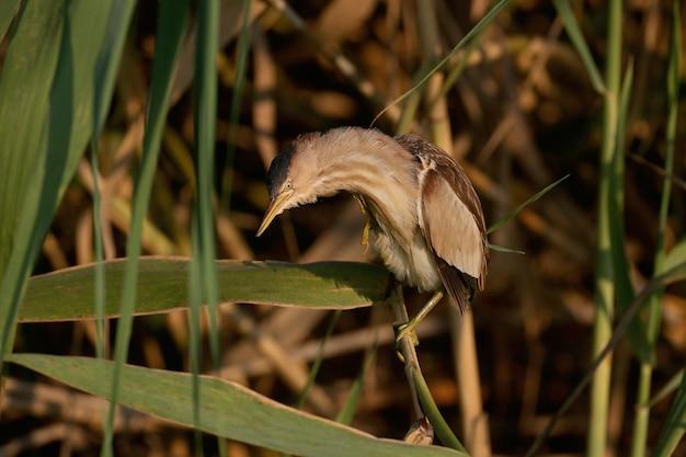 Ein erwachsenes weibchen zwergdommel wurde in einer ungewöhnlichen pose mit einem bizarr gewölbten hals im morgenlicht erschossen