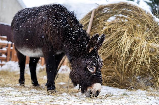 Ein esel, der heu vom schnee am schneereichen wintertag isst. tier auf dem bauernhof, rancho