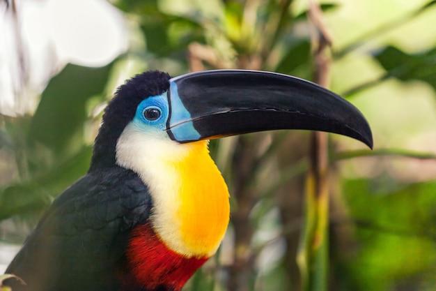 Ein exotisch schönes großes schwarzes tukan mit einem schwarzen schnabel.