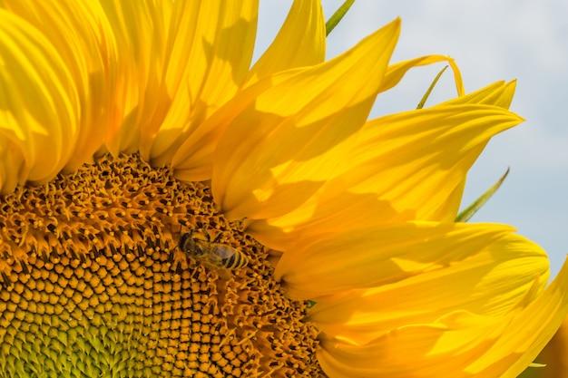 Ein feld aus geraden reihen von sonnenblumenpflanzen, geschützt vor schädlingen, unkraut und krankheiten