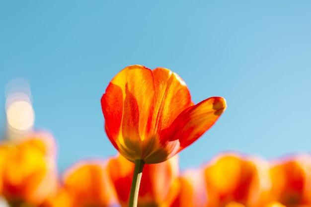 Ein feld feuriger orangefarbener tulpen in den strahlen des sommerhellen tageslichts