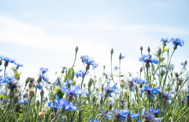 Ein feld von blauen kornblumen vor blauem himmel.