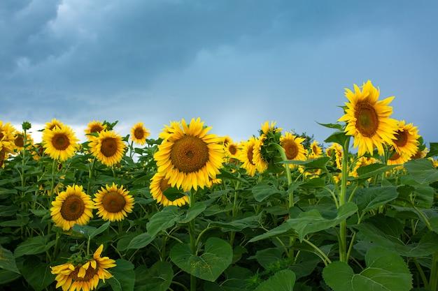 Ein feld von sonnenblumen vor dem regen. schwarze regenwolken über einem feld von sonnenblumen.