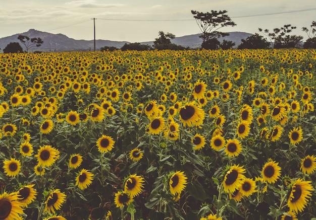 Ein feld von sonnenblumen