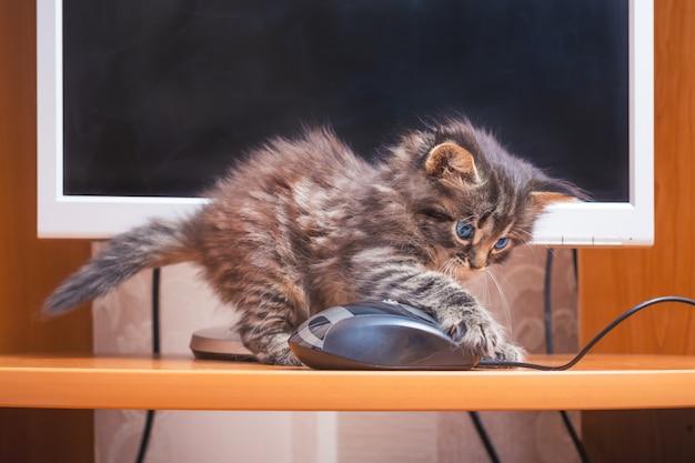 Ein flauschiges kätzchen wird mit einer computermaus gespielt. arbeiten sie mit dem computer im büro