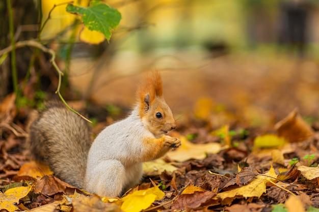 Ein flauschiges schönes eichhörnchen sucht im herbst in einem stadtpark nach nahrung zwischen abgefallenen gelben blättern