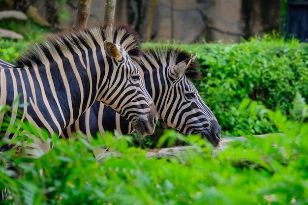 Ein fohlen und ein mutter plains zebra, die durch langes grünes gras gehen
