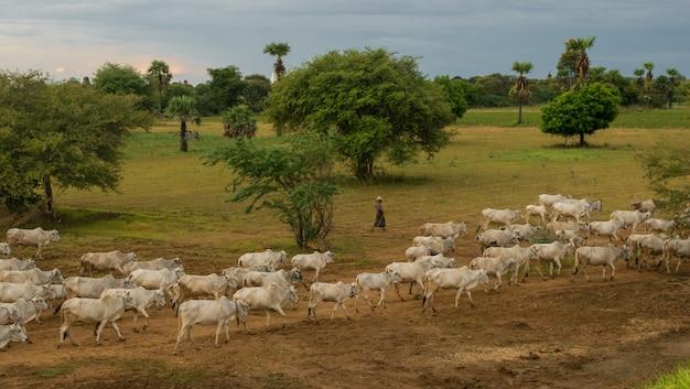 Ein friedlicher, entspannter sonnenuntergang mit einer herde zebu-rinder in myanmar
