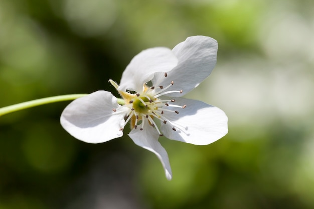 Ein frischer junger weißer blumenbaum, frühlingssaison im garten auf dem hintergrund der grünen vegetation