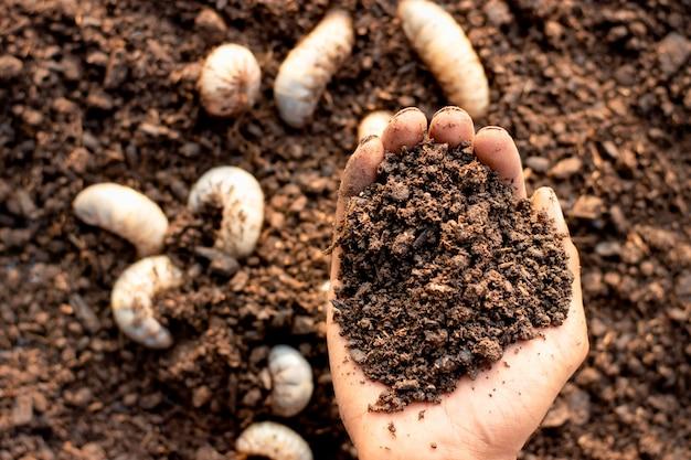 Ein fruchtbarer lehm in den händen eines mannes, der zur kultivierung des weißen käfers verwendet wird.