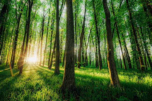 Ein frühlingswald bäume. natur grün holz sonnenlicht oberflächen.