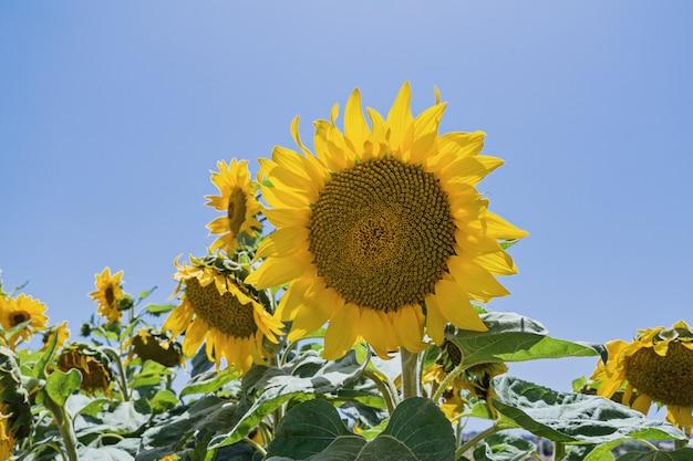 Ein gänseblümchenähnlicher gesichtssonnenblumenplan gegen blauen himmel