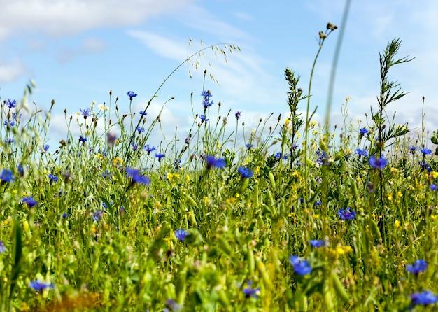Ein ganzes feld grüner erbsen mit schoten, die im sommer aufgetaucht sind, viele blaue kornblumen wachsen auf dem feld