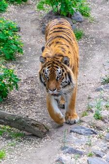 Ein gefährlicher großer tiger schleicht sich durch das dickicht. tiger, der opfer anpirscht.