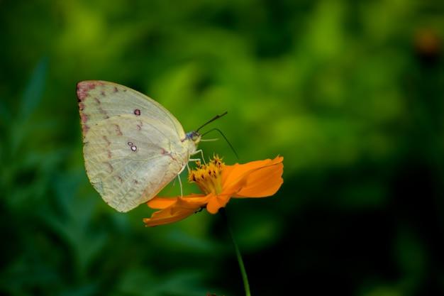 Ein gelber grasschmetterling auf der gelben blume und trinkender nektar in einem schönen hintergrund