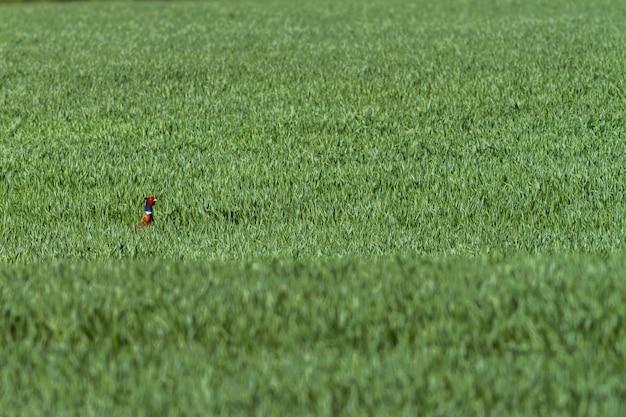 Ein gemeiner fasan (phasianus colchicus) auf der grünen wiese