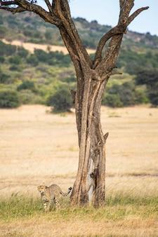 Ein gepard in der nähe eines baumes im masai mara nationalpark, wilde tiere in der savanne. kenia