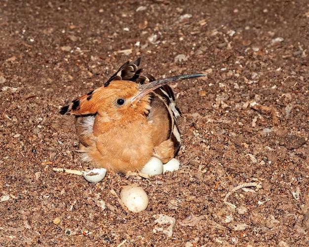 Ein gewöhnlicher wiedehopf sitzt auf seinen eiern im nest
