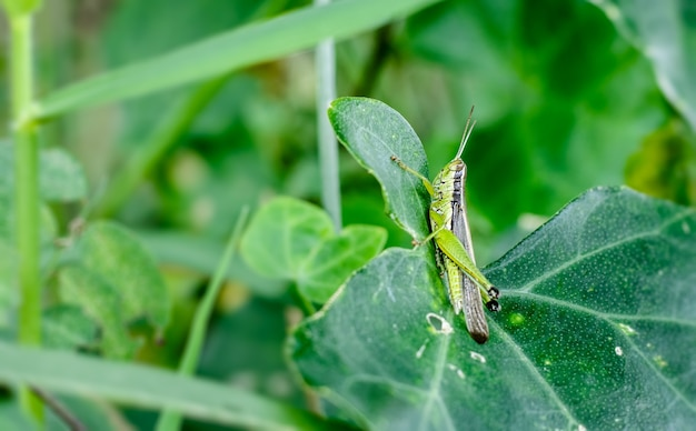 Ein gewöhnliches heuschreckeninsekt, das auf einem grünen blatt nah oben sitzt sitting