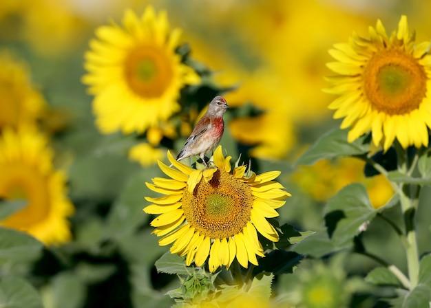 Ein gewöhnliches linnet (linaria cannabina) sitzt auf einem blühenden sonnenblumenkopf