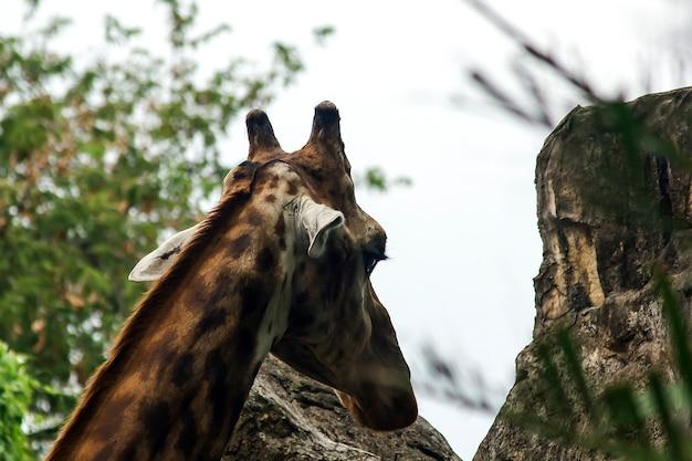 Ein giraffenkopf mit langem hals aus seinem einzigartigen körper