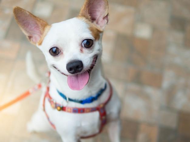 Ein glücklicher lächelnder hund des netten weißen chihuahua