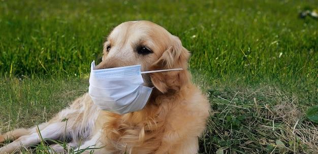 Ein golden retriever in einer medizinischen schutzmaske schützt sich vor dem coronavirus