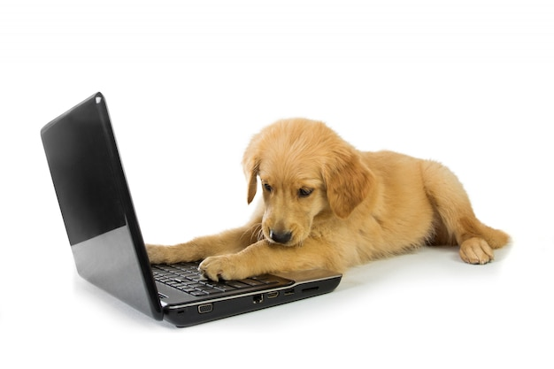 Ein golden retriever mit einem laptop isoliert