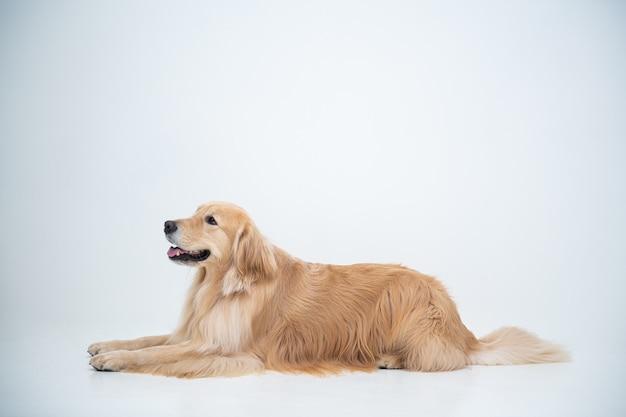 Ein golden retriever welpe sitzt auf einem weißen hintergrund und starrt etwas an