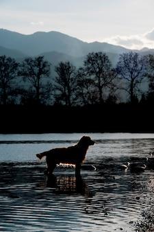 Ein goldener apportierhund im wasser