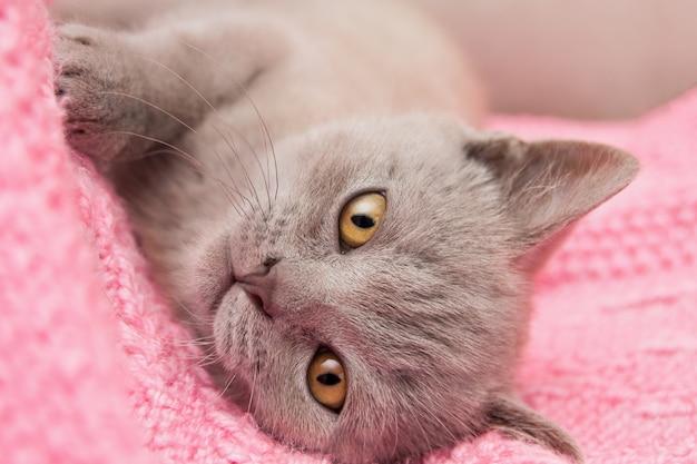Ein graues beige britisches gerades kätzchen mit großen gelben augen liegt auf einer rosa decke.