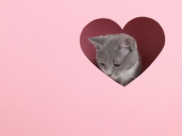Ein graues kätzchen späht aus einem herzförmigen loch auf rosa