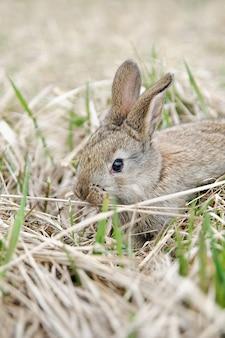 Ein graues kaninchen im heu auf dem bauernhof. hübsches kaninchen auf einem trockenen gras