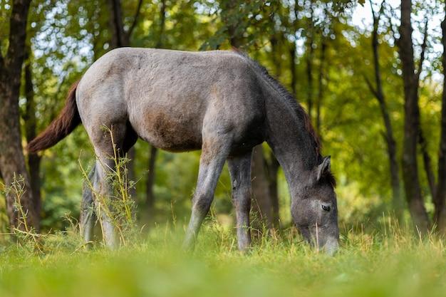 Ein graues pferd frisst gras auf einer weide