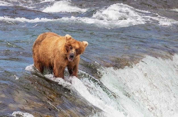 Ein grizzlybär, der in brooks lachs jagt, fällt. küstenbraune grizzlybären, die am katmai-nationalpark, alaska fischen. sommersaison. natürliches wildtierthema.
