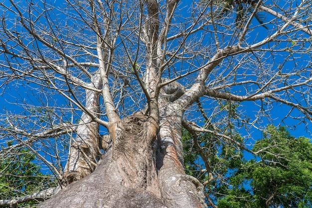 Ein großer baobab-baum am strand auf der insel sansibar, tansania, ostafrika