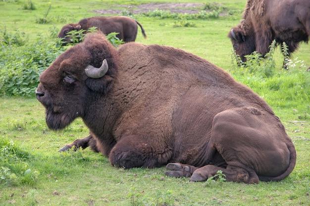 Ein großer bison liegt ruhend auf einer wiese. große hörner, dichtes braunes haar. im hintergrund grasen mehrere andere bisons. selektiver fokus.