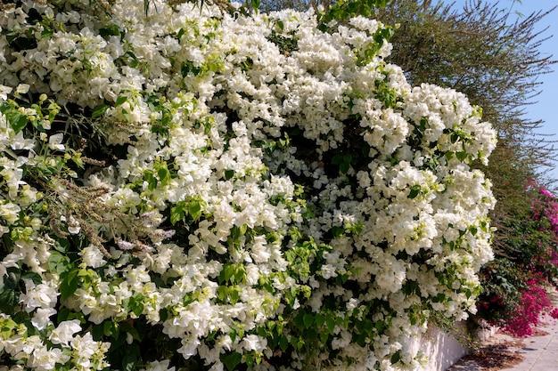 Ein großer bougainvillea (bougainvillea glabra) strauch, der in zypern reichlich blüht