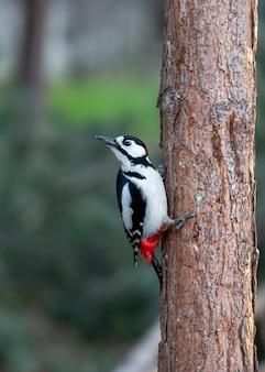 Ein großer buntspecht sitzt auf einem kiefernstamm und schaut sich bei der vogelbeobachtung um