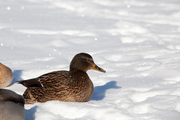 Ein großer entenschwarm, der über den winter in europa blieb, die kalte jahreszeit mit frost und schnee, enten sitzen im schnee