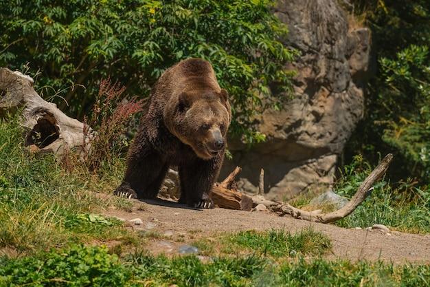 Ein großer grizzlybär wackelt, während er seinen weg entlang geht. detailliertes fell und weicher hintergrund
