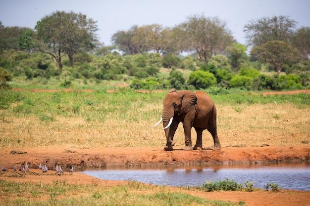 Ein großer roter elefant geht am ufer eines wasserlochs spazieren
