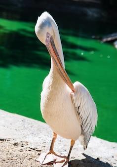 Ein großer weißer pelikan steht am ufer eines teiches