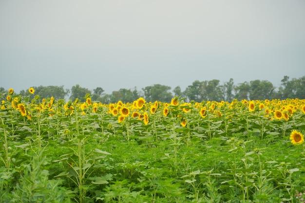 Ein großes sonnenblumenfeld vor dem regen in den weiten des landes