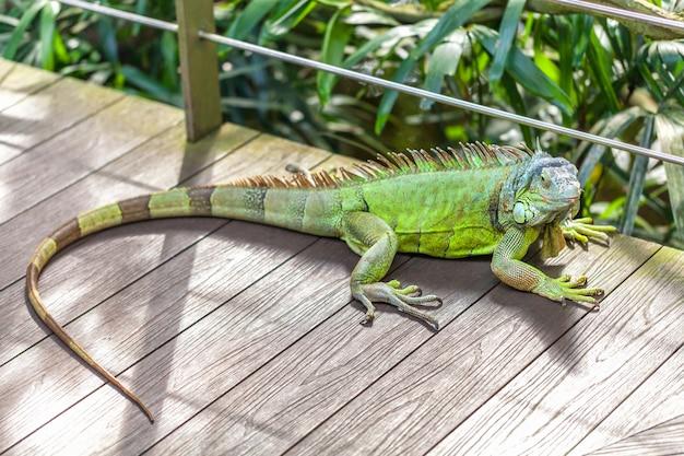 Ein grüner lächelnder großer leguan liegt auf einem baumast