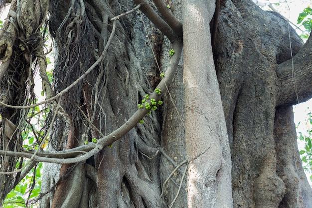 Ein grünes banyansamenleben durch das wachsen auf großen zweigen