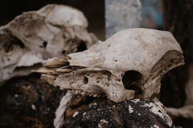 Ein gruseliger und erschreckender tierschädel auf einem stock. tierwelt. halloween