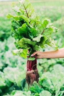 Ein haufen frischer roher bio-rüben mit blättern in den händen auf dem feld. landwirtschaft. weicher selektiver fokus.